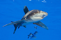 oceanic whitetip shark, Carcharhinus longimanus, and pilot fish, Naucrates ductor, Hawaii, Pacific Ocean ( do )