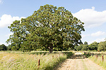 Sycamore tree in summer, acer pseudoplatanus, near Woodhall Manor, Sutton, Suffolk, England, UK