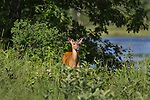 Young white-tailed buck with antlers in velvet