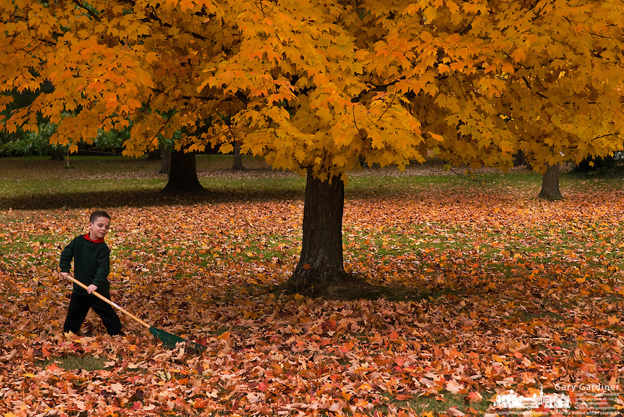 Young boy rakes leaves under golden maple tree.