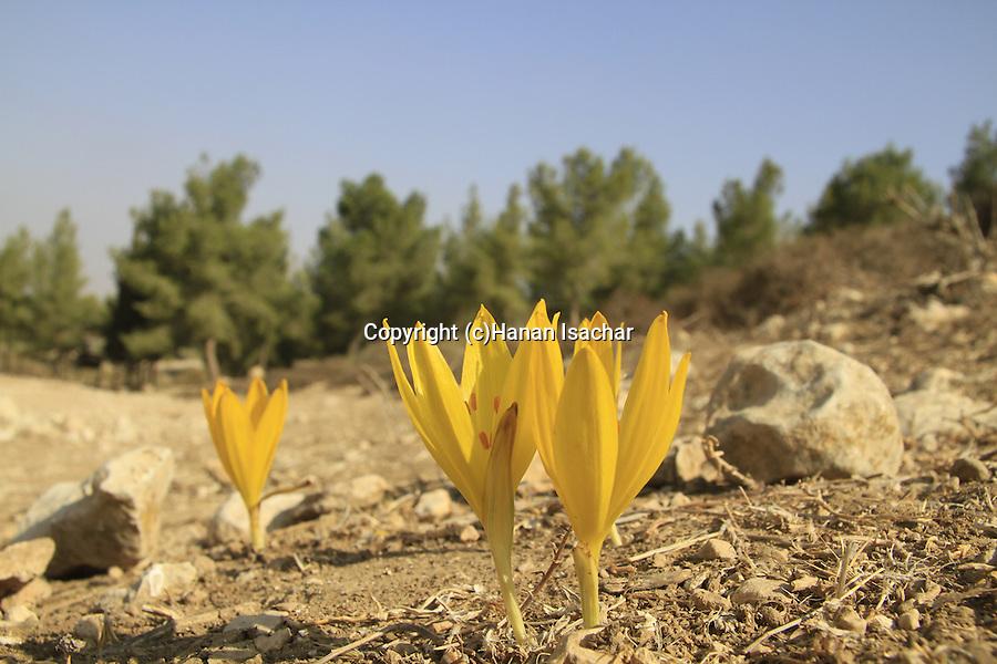 Israel, Shephelah, Sternbergia clusiana in Lahav forest