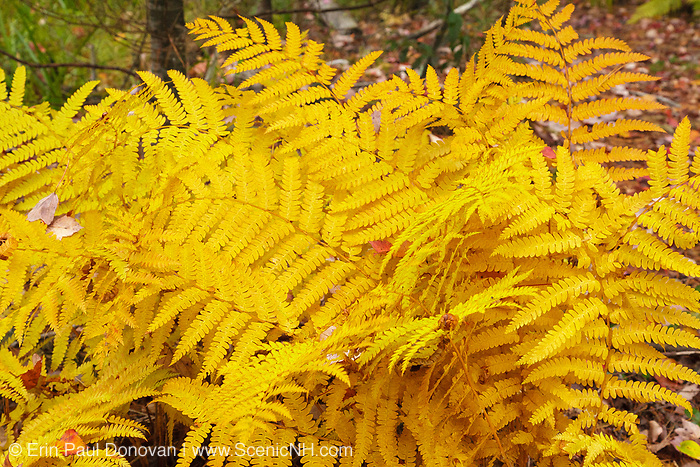 Ferns during the autumn months on the side of a hiking trail in New Hampshire  USA. .