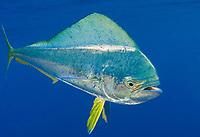 Dolphinfish, mahi mahi or dorado, Coryphaena hippurus, South Africa, Indian Ocean