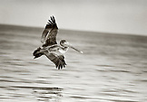 MEXICO, Nayarit Riviera, Brown Pelican in flight, Chacala (B&W)
