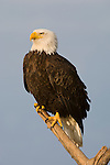 A bald eagle perched on a branch in Homer, Alaska.