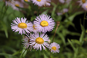 Common Fleabane -Erigeron philadelphicus-during the summer months on the side of a hiking trail in the White Mountains, New Hampshire  USA. .Notes: