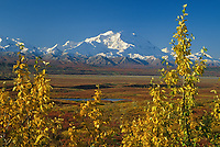 20, 3020+ Ft. Mt. Denali, Cottonwood Leaves, Autumn Tundra, Denali National Park, Alaska