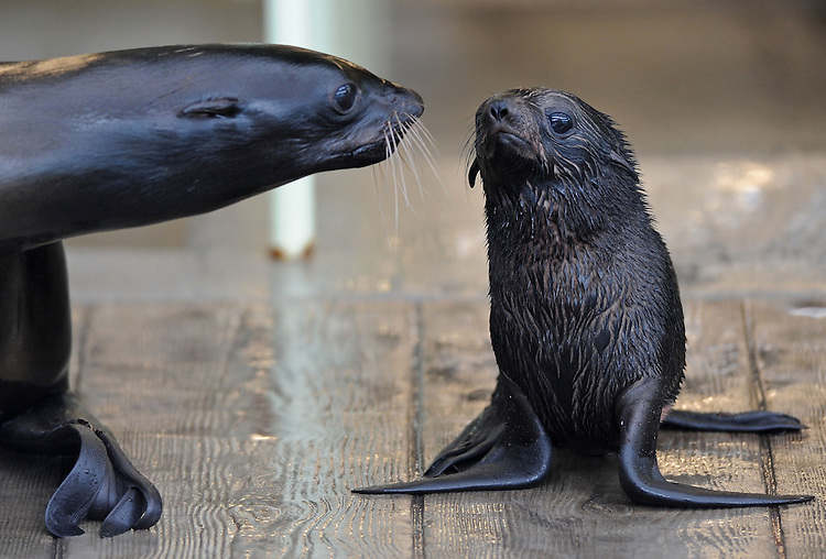 Kitovi, a reluctant 7-week-old Northern fur seal, right, is urged by her mother Ursula, left, to make her first foray onto public exhibit at the New England Aquarium on Monday, September 16, 2013. Photo by Christopher Evans