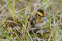 Newly hatched Red Phalarope (Phalaropus fulicarius) chick. Yukon Delta National Wildlife Refuge, Alaska. June.