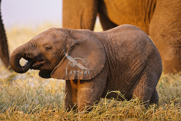 Young African Elephant drinking.  It takes about a year for a young elephant to learn how to control using its trunk.