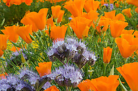 Lacy Phacelia (Phacelia tanacetifolia) growing among California Poppies.  California,  March.