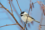 Black-capped chickadee perched in a speckled alder in northern Wisconsin.