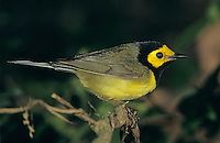 Hooded Warbler, Wilsonia citrina, male, High Island, Texas, USA