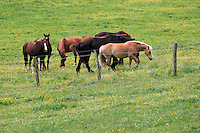 Horses grazing near a barbed wire fence in a grassland filled with wildflowers in cades cove, the great smoky mountain national park, America- stock image