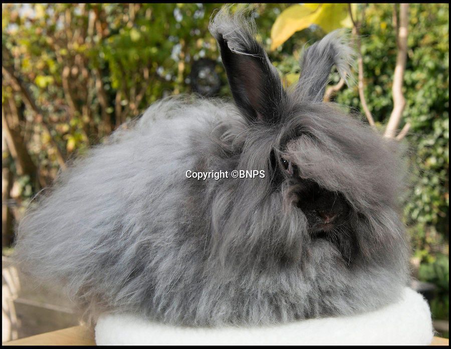BNPS.co.uk (01202 558833)<br /> Pic: LauraDale/BNPS<br /> <br /> In need of a trim...<br /> <br /> Resourceful rabbit owner Sally May is making her winter woollies from the fleece of her fluffy Angora bunnies.<br /> <br /> Sally, who lives in Wiltshire, got her first Angora rabbit 40 years ago when a friend wanted to get rid of one. Now she has 20 which she regularly clips to make the warmest, softest, and even waterproof, wool.<br /> <br /> Angora fibres are prized for their fluffy texture. It's about six times warmer than sheep's wool, and the fibre is also exceptionally fine, just 11 microns (thousands of a millimetre), which make it softer than cashmere. It has a trade value of £22 to £28 per kilo.<br /> <br /> The 67-year-old also exhibits her pampered pets at big shows, the rabbit equivalent of Crufts, and her brown-grey angora Brianna just won 'best in show' at the Three Counties Show in Malvern, just beating its sister Bunny.