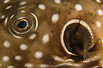 Kenting, Taiwan -- Close-up of a reticulated pufferfish on a night dive.
