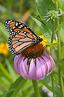 Monarch butterfly on purple coneflower (Echinacea purpurea)