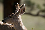 mule deer, (Odocoileus hemionus), yearling, wildlife, spring foliage, morning, May, nature, Rocky Mountain National Park, Colorado, USA.