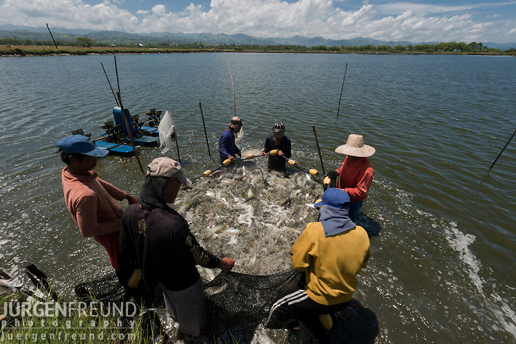 These men harvested about 4 tons of milkfish (chanos chanos) from this pond and fish immediately put to ice and brought to  nearby processing plant for deboning and other processes. Alsons Aquaculture.
