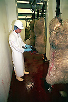 Government appointed meat hygiene service meat inspector at work in an abattoir checking the teeth to ensure the age of the animal.