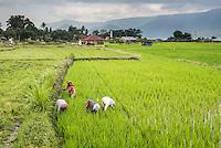 Women working in rice paddy fields at Lake Toba (Danau Toba), North Sumatra, Indonesia