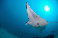 Manta Rays, manta alfredi, come into Yap's Miil Channel to clean and feed on a regular basis. They can also be seen mating December thru March.