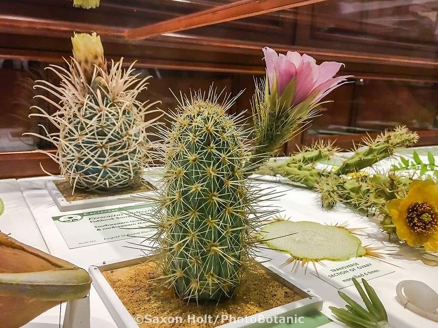 Fishhook Barrel Cactus (Ferocactus) with flower in Glass Flowers Exhibit Harvard Museum of Natural History