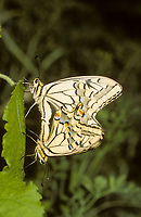Schwalbenschwanz, Paarung, Kopulation, Kopula, Schwalben-Schwanz, Papilio machaon, Old World Swallowtail, common yellow swallowtail, swallowtail, swallow-tail, pairing, Le Machaon, Grand porte-queue