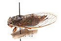 New Forest Cicada (Cicadetta montana), the only cicada species native to the UK. The last unconfirmed sighting was in 2000 in the New Forest, though there is a possibility that populations stlll exist there. Pinned museum specimen, originating from New Forest, Hampshire, UK. website