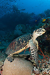 Hawksbill turtle on a reef with diver in the background in Raja Ampat, West Papua, Indonesia