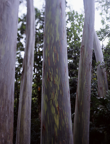 "Colorful Bagras (""painted gum"") trees on Maui, Hawaii. Photo by Kevin J. Miyazaki/Redux"