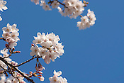 Japanese cherry blossoms (sakura) flowering in early April.