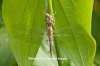 06645-00119 Spot-winged Glider dragonfly (Pantala hymenaea) newly emerged near larva exoskeleton, Marion Co.  IL