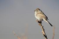 Brewer's Sparrow (Spizella breweri breweri), at the Desert National Wildlife Refuge outside Las Vegas, Nevada.