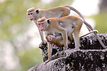 Toque Macaques, Infant Sucking On Breast