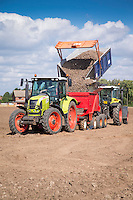 Planting daffodil bulbs - August; South Lincolnshire