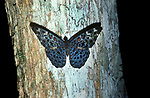 Cracker Butterfly, on tree trunk in rainforest, Belize, Neotropical group of medium-sized brush-footed butterfly species of the genus Hamadryas, Male cracker butterflies are known for their ability to crack their wings, which is believed to either be for mating or to ward off rival males
