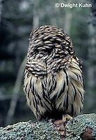OW01-026z  Barred owl - turning head around - Strix varia