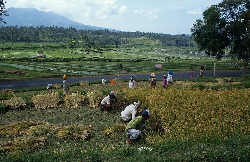 Farmer harvestin rice for processing