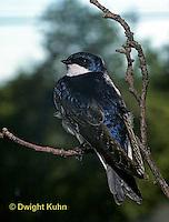 SX01-005z  Tree Swallow - Tachycineta bicolor or Iridoprocne bicolor
