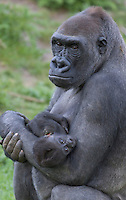 Germany, DEU, Muenster, 2006-Sep-21: A nine weeks old gorilla baby (gorilla gorilla) with an injured shoulder is being carried by its mother in the Muenster zoo.