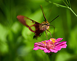 Hummingbird Clearwing (Hemaris thysbe) moth feeding on a Zinnia flower. Image taken with a Nikon D850 camera and 300 mm f/2.8 VR lens + 2.0 TC-EIII teleconverter