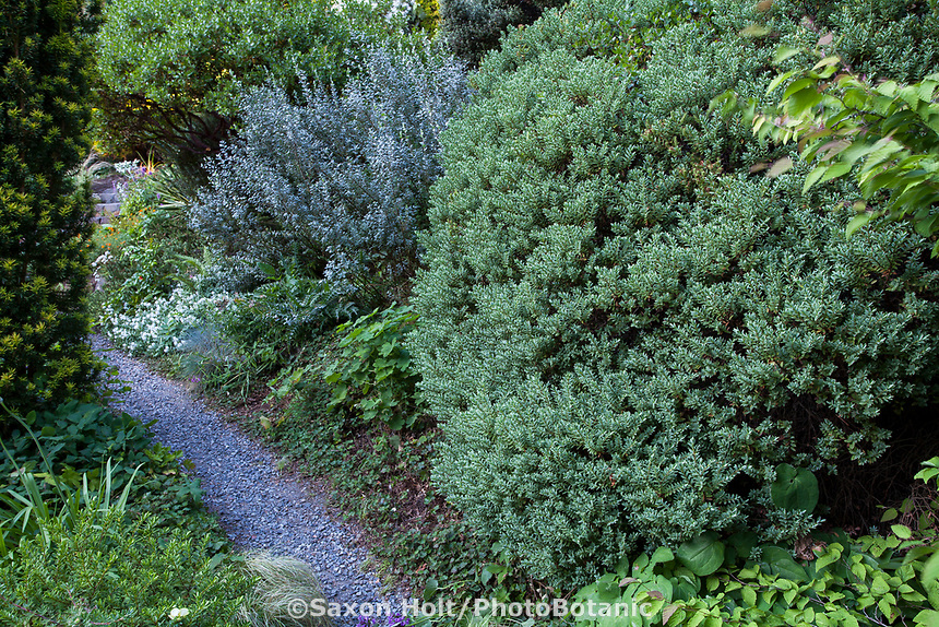 Veronica (Hebe) topiaria in foreground, Salix repens var. argentea behind and Arctostaphylos 'Sunset' behind salix in Elisabeth Miller Botanical Garden