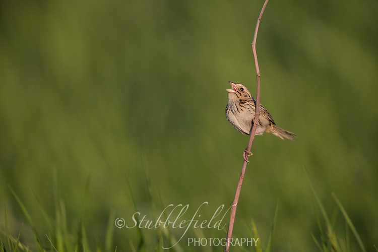 Henslow's Sparrow (Ammodramus henslowii susurrans), male singing on its breeding territory in a grassland near Westernport, Maryland