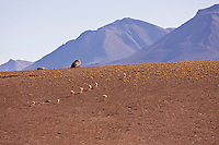 Lama family with their cubs going up the slopes of the volcano Licancabur andean Bolivia