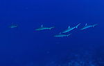 A few juvenil grey sharks over shark condos Maui hawaii Molokini