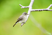 Eastern wood-pewee, Contopus virens, perched on twig, Nova Scotia, Canada