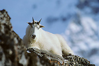 Mountain Goat billy resting on rocky cliff among snowy mountains in fall.  Northern Rockies.