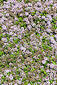 Thymus longicaulis, late May. Mediterrranean creeping thyme, a mat-forming, evergreen perennial with small, linear to narrowly lance-shaped, aromatic, dark green leaves and clusters of tiny, bright pink flowers in summer.