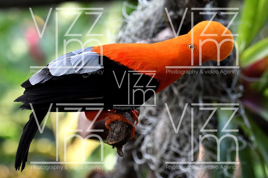 CALI - COLOMBIA - 27 - 09 - 2017: Gallito de Roca (Rupicola Peruviana), especie de ave en el Zoologico de Cali, en el Departamento del Valle del Cauca. / Gallito de Roca (Rupicola Peruviana), a species of bird in the Zoologico de Cali, in the Department of Valle del Cauca. / Photo: VizzorImage / Luis Ramirez / Staff.
